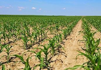 Rana faza rasta kukuruza