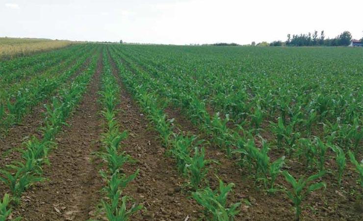 Efekti primjene tekućeg digestata iz bioplinskog postrojenja u proizvodnji silažnog kukuruza